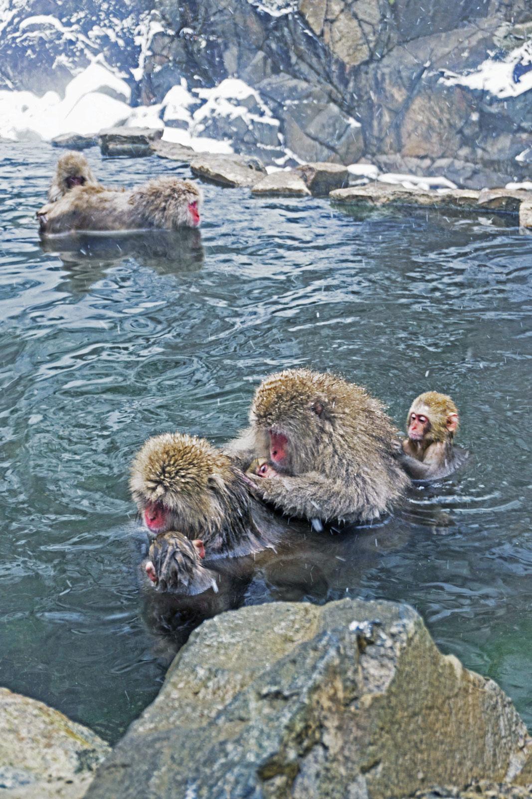 Japan snow monkeys